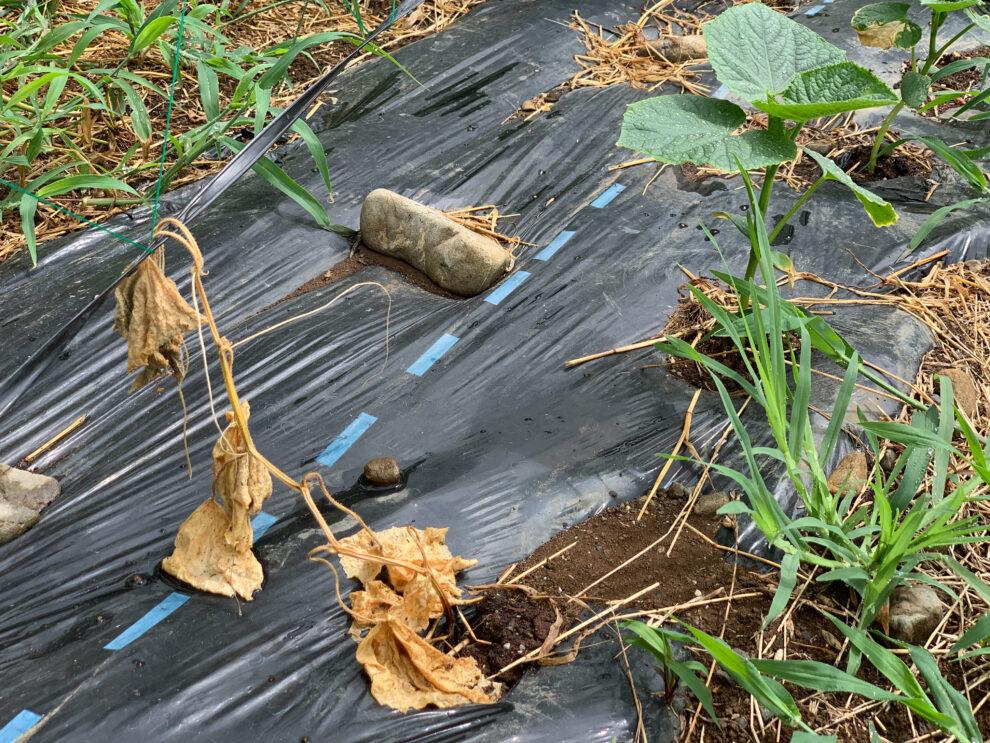 夏の苗の定植作業について