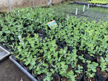2020年1月8日(水)の作業記録 (大根、聖護院かぶ、小松菜収穫 休憩所の屋根のUVカットシート等の買い物)