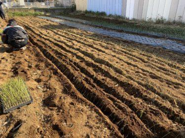 2020年1月20日(月)の作業記録 (収穫作業、玉ねぎ苗の余りの植え付け作業)