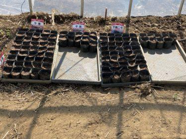 2020年3月2日(月)の作業記録 (モロヘイヤの種取り、ミニトマトと茄子の苗作り作業)