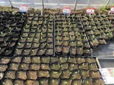 2020年4月2日(木)の作業記録 (斉藤さん畑ビニールハウス周りの除草。青しそ、キュウリ、ズッキーニ、まくわ瓜等の種蒔き)