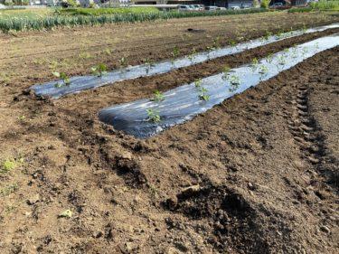2020年5月1日(金)の作業記録 (新・斉藤さん畑に茄子とピーマンの定植作業を行いました。ゴールデンウィーク前後の作業予定の進捗状況)