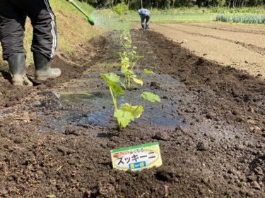 2020年5月7日(木)の作業記録 (ミニトマト定植作業完了、吉岡さん畑のジャガイモ畝の除草作業、黄色ズッキーニ定植作業完了)