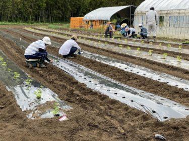 2020年5月26日(火)の作業記録 (青しそとフダンソウの定植作業、オクラの種蒔き、キュウリ畝とモロッコインゲン畝の支柱立て、茄子とピーマンの一部に支柱立て、ミニトマトの支柱立て芽搔き誘引作業)
