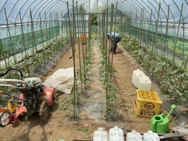 2020年5月27日(水)の作業記録 (ミニトマトの支柱立て芽搔き誘引作業)