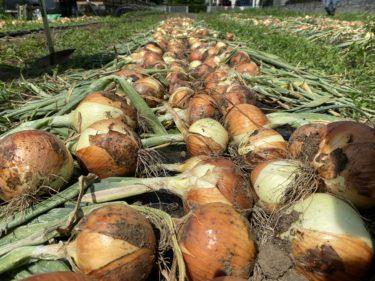 2020年6月9日(火)の作業記録 (茄子初収穫、玉ねぎ収穫作業開始)