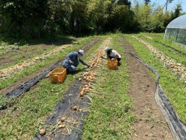 2020年6月10日(水)の作業記録 (キュウリネット張りの続き、鈴木さん畑の玉ねぎ回収、玉ねぎの葉切り根切り作業、斉藤さん上・中の畑の作付け図を更新)