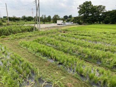 2020年6月18日(木)の作業記録 (小溝玉ねぎ畑の除草と玉ねぎ回収、吉岡さん畑の玉ねぎ回収、その他ジャガイモ収穫等)