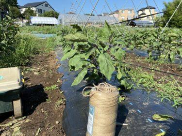 2020年7月2日(木)の作業記録 (茄子の剪定誘引作業、アスパラガス定植作業)