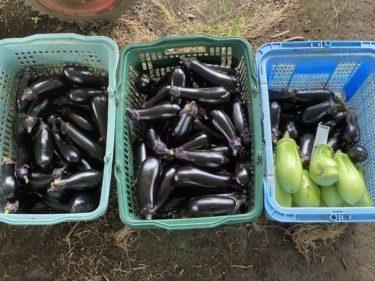 2020年7月20日(月)の作業記録 (午前中は収穫のみ、午後は吉岡さん畑で玉ねぎ回収作業)