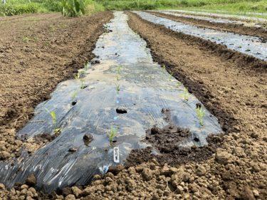 2020年8月5日(水)の作業記録 (斉藤さん畑の除草作業、空芯菜の定植作業)