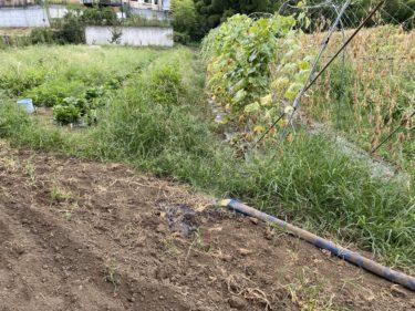 2020年8月27日(木)の作業記録 (斉藤さん畑の上の畑の散水作業、小溝玉ねぎ畑でマルチを破り玉ねぎを回収、ブロッコリーの播種作業)
