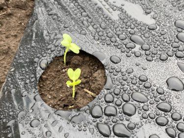 2020年9月14日(月)の作業記録 (小松菜防虫ネット張り、田中さん畑に鶏糞とかき殻石灰を撒きトラクターで耕耘)