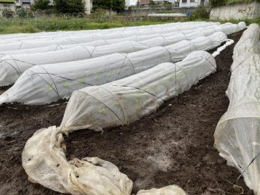 2020年9月23日(水)の作業記録 (防虫ネット風対策、モロッコインゲン畝撤去作業)