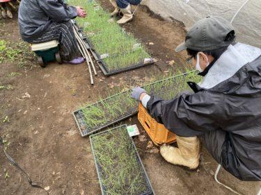 2020年10月23日(金)の作業記録 (玉ねぎ苗の間引き、パセリの定植作業開始)