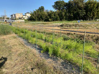 2020年11月11日(水)の作業記録 (カブの間引き収穫作業、パセリの移植作業、パクチーの定植作業)