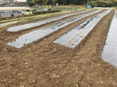 2020年11月25日(水)の作業記録 (午前中1時間半のみの作業、玉ねぎの定植作業)