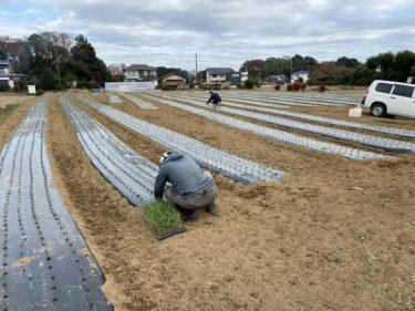 2020年12月9日(水)の作業記録 (小溝玉ねぎ畑と鈴木さん畑で玉ねぎの定植作業と補植作業)
