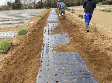 2020年12月10日(木)の作業記録 (吉岡さん畑で玉ねぎの追加定植作業、小溝玉ねぎ畑で追加マルチ張り作業)