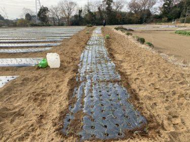 2020年12月11日(金)の作業記録 (小溝玉ねぎ畑で玉ねぎの定植作業と追加マルチ張り作業)