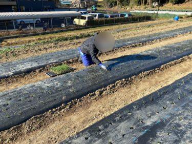 2020年12月16日(水)の作業記録 (午前中のみ畑作業、鈴木さん畑で水やり作業等、吉岡さん畑で追加の玉ねぎ定植作業)