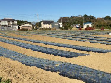 2020年12月4日(金)の作業記録 (小溝玉ねぎ畑で玉ねぎの補植作業、鈴木さん畑で玉ねぎの定植と補植作業)