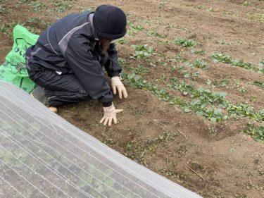 2021年1月6日(水)の作業記録 (収穫作業、ほうれん草追肥作業、畑作業ミーティング)