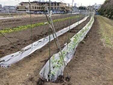 2021年2月8日(月)の作業記録 (絹さや定植作業、今期の大根は全て収穫終了)