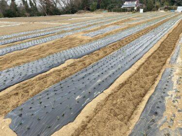 2021年3月12日(金)の作業記録 (小溝玉ねぎ畑の除草作業、緑茄子発芽)