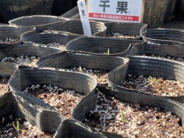 2021年3月15日(月)の作業記録 (田中さん畑のブロッコリー畝のアーチ支柱と防虫ネット片付け作業、育苗中のミニトマト等が発芽して来ました)