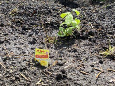 2021年4月1日(木)の作業記録 (レモンの苗の定植作業、里芋の定植作業、小溝畑の除草作業)