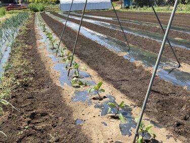 2021年4月30日(金)の作業記録 (茄子苗の定植作業、レタスと長ネギの追肥作業)