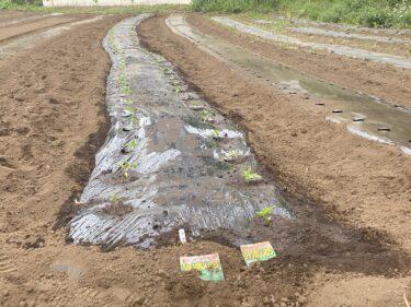 2021年5月12日(水)の作業記録 (小溝畑の除草作業、つるありインゲンと成平インゲンの定植作業、斉藤さん畑のマルチ張り作業、田中さん畑にジャンボシシトウの定植作業)