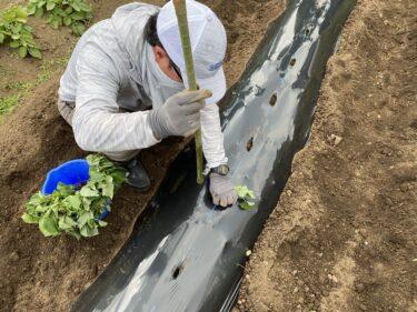 2021年5月25日(火)の作業記録 (サツマイモの定植作業、水茄子と千両二号茄子の一部を新しい物に植え替え)