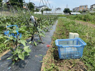 2021年6月8日(火)の作業記録 (茄子の剪定誘引作業、小溝畑の玉ねぎの収穫作業、玉ねぎの根切り葉切り選別作業)