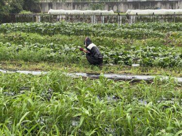 2021年7月9日(金)の作業記録 (収穫作業メイン、除草作業、玉ねぎ選別、ジャガイモ選別)
