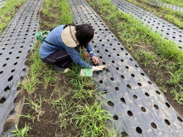 2021年7月14日(水)の作業記録 (キュウリの定植作業、モロヘイヤの播種作業、ズッキーニ畝の撤去作業、ジャガイモの収穫作業等)