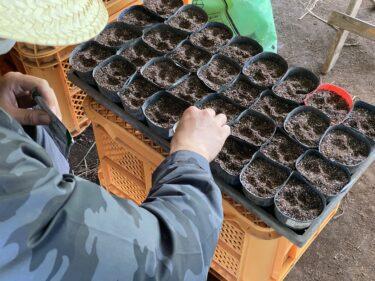 2021年8月11日(水)の作業記録 (カリフラワーとブロッコリーの播種作業、玉ねぎ選別作業、茄子畝周りの除草作業)