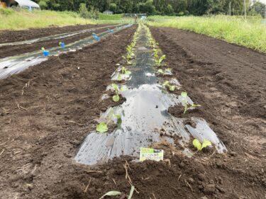 2021年9月8日(水)の作業記録 (斉藤さん畑の中の畑にブロッコリーの定植作業、小溝畑をハンマーナイフモアで除草作業、斉藤さん畑の下の畑の茄子周りの除草作業)