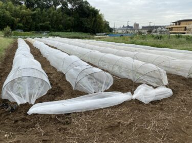 2021年9月17日(金)の作業記録 (カリフラワーの定植作業、ラッキョウの植え付け作業、防虫ネットの強風対策)