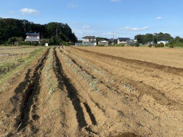 2021年10月6日(水)の作業記録 (小溝畑で長ネギの定植作業、玉ねぎの播種作業)